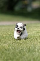 shih tzu running by seerich