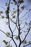 Blossoming Branch by RobertRobledo