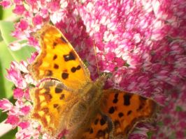 Butterfly Stock 009 by Pippas-Stock