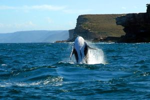 Whale Breaching IV by xjames7