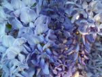 More Wisteria Blue by Applemac12