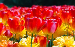 Red and Yellow Tulips by greenjinjo