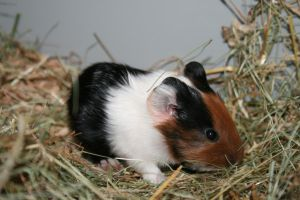 One of the guinea pig babies by Crusnick