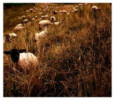 Sheep by zillahderigeaud