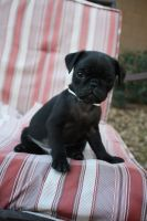 Hudson the Pug Puppy by icantthinkofaname-09