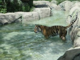 Tiger in Water by stillestilo