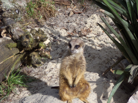 Suricate at Cracow Zooological Garden by MrGorsh