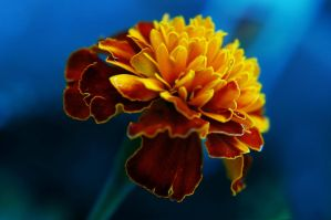 merrigold blue by insaneone