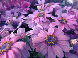 Cineraria by Waxflower