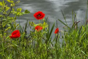 poppies by hubert61