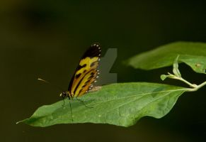 Isabella's Tiger Heliconian? by EyeInFocus