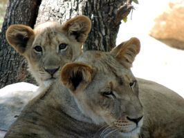 Lion Cubs by yoricktlm