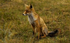 Vulpes Vulpes X by blizzard2006