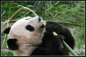 How to eat bamboo by AF--Photography