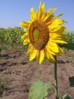 Sunflower is the Sun. by Anne-Claire-Annelle