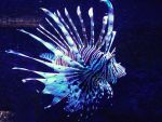 Lionfish by emy-hobbies