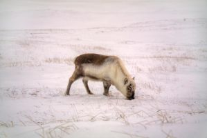 Reindeer in the snow by FinnianTerra