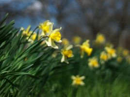 Daffodils by sztewe