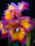 Orchid Show 2015 no.21 by Foozma73