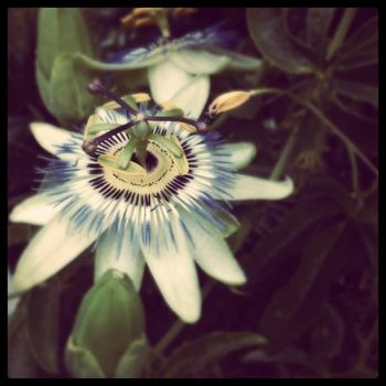 Passion.Flower. by ellenherbert