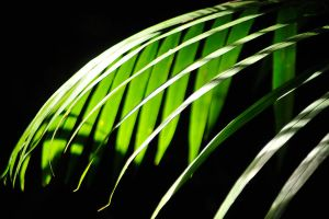 Palm fronds in light 1 by wildplaces