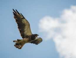 Swainson's-Hawk-Defiance by JestePhotography
