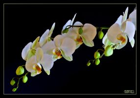 Moon Orchid III by ernieleo
