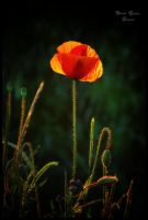 Mohn by ArkanumTenebrae