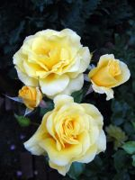Yellow Roses by Cynnalia-Stock