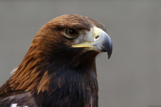 Golden Eagle by LauvaTai
