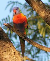 Rainbow Lorikeet by Tamamantix
