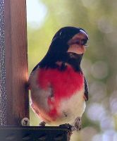 Rose-Breasted Grosbeak 02 by JocelyneR