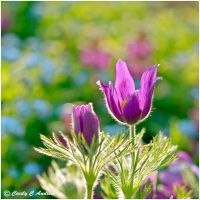 Pasque Flowers by CecilyAndreuArtwork