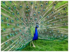 peacock by Summer-Sunny
