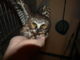 Wheatley the Saw Whet Owl 3 by KodaSilverwing