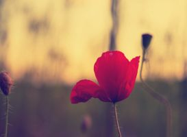 Late Poppy by Artursphoto