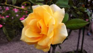 ::-A Golden Rose of Hope-:: by Starimo