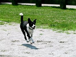 Border Collie by Michayla-Marie