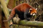 Red panda on beam by wildplaces