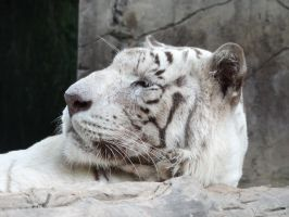 White tiger by Almoutasemz