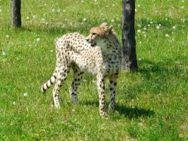Cheetah 06 by Unseelie-Stock