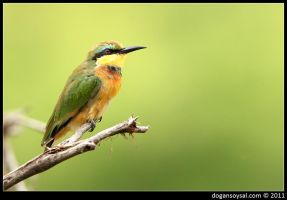 BEE-EATER by dogansoysal