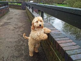 Teddy the Cockapoo looking over the bridge by uktilly