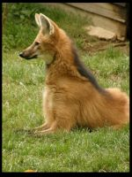 Maned Wolf by Rosselanor