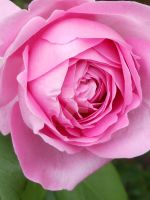 Pink Rose by Heidi-V-Art