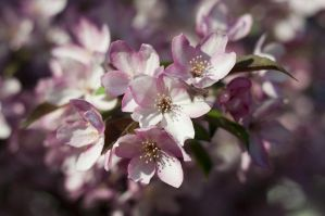 Flowering trees by JaniellMarie