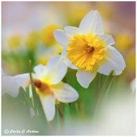 Daffodils Bring the Spring by CecilyAndreuArtwork