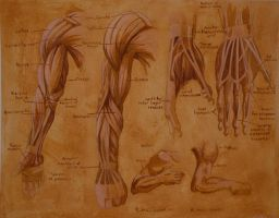 Anatomy study 2 - arm muscles by str4yk1tt3n