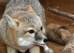 Swift Fox Attack Stance by Jack-13