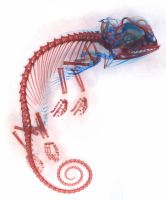 Veiled Chameleon Embryo by jswis